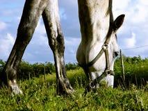 het witte paard doorbladeren royalty-vrije stock foto