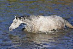 Het witte paard kruist de rivier, water, zwemt Stock Afbeeldingen