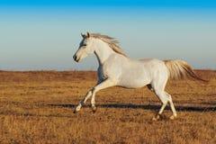 Het witte paard lopen royalty-vrije stock afbeeldingen