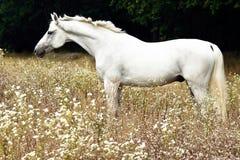 Het witte paard lopen stock fotografie