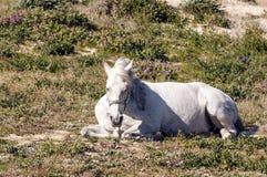 Het witte paard rusten stock fotografie