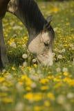 Het witte paard weiden Stock Foto