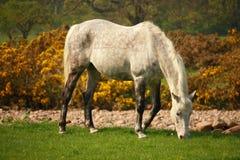 Het witte Paard Weiden Stock Fotografie