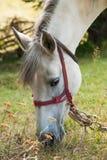 Het witte Paard Weiden Royalty-vrije Stock Afbeeldingen