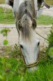 Het witte Paard Weiden Stock Afbeelding