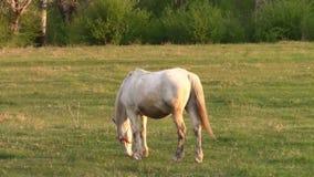 Het witte Paard Weiden stock videobeelden