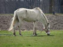 Het witte paard weiden op groen gras royalty-vrije stock foto