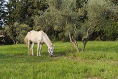 Het witte paard weidt dichtbij de olijfboom stock foto