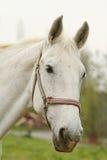 Het witte paard ziet eruit Royalty-vrije Stock Afbeeldingen