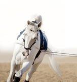 Het witte paardportret trainen in handen Stock Foto's