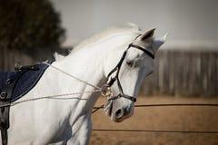 Het witte paardportret trainen in handen met teugels Royalty-vrije Stock Afbeeldingen