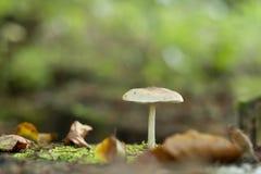 Het witte paddestoel groeien op een de herfstbos Royalty-vrije Stock Afbeelding