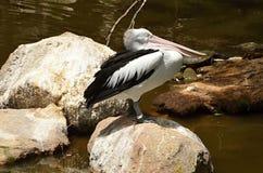 Het witte pelikaan Australische rusten op de kust van Australië Royalty-vrije Stock Afbeelding