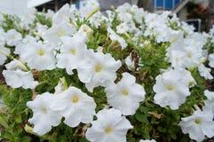 Het witte Petunia bloeien Stock Afbeeldingen