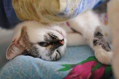 Het witte pluizige blauw-eyed kat grappige welig tieren in bed Verpakt in een deken Close-up van portret Royalty-vrije Stock Fotografie