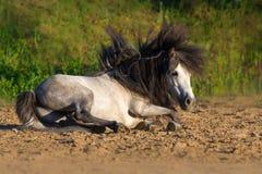 Het witte poneyhengst rollen royalty-vrije stock foto's