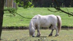 Het witte poneypaard weiden stock footage