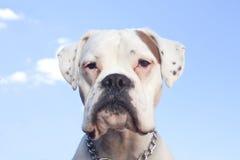 Het witte portret van de bokserhond Royalty-vrije Stock Foto