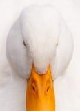 Het witte Portret van de Close-up van de hallo-Sleutel van de Eend Stock Foto's