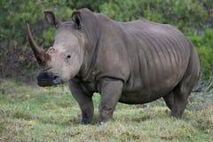 Het witte Portret van de Rinoceros Stock Fotografie