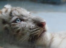 Het witte portret van de tijgerwelp Royalty-vrije Stock Foto