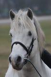 Het witte portret van het Paard Royalty-vrije Stock Afbeeldingen