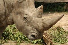 Het witte Profiel van de Rinoceros Stock Foto's
