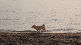 Het witte puppy van shibainu reduceert de overzeese kust en tryie om een vogel in de hemel op zonsopgang langzame motie de achter stock footage