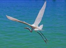 Het witte reiger vliegen Stock Foto's