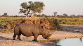 Het witte rinoceros drinken stock videobeelden