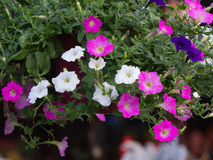 Het witte Roze en Donkerblauwe Petuniabloemen Hangen stock fotografie