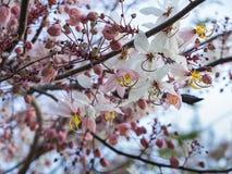 Het witte Roze Kanlapaphruek-Bloemen Bloeien royalty-vrije stock fotografie