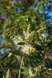 Het witte salicina van Bottlebrush Melaleuca bloeien royalty-vrije stock foto