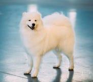 Het witte Samoyed-Jong die van het Hondpuppy zich op Vloer bevinden royalty-vrije stock foto