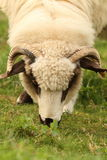 Het witte schapen weiden Stock Afbeelding