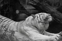 Het witte Siberische tijger uitrekken zich Royalty-vrije Stock Fotografie