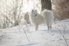 Het witte spel van hondsamoyed op sneeuw Royalty-vrije Stock Afbeeldingen