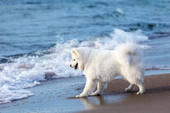 Het witte spelen van hondsamoyed door het overzees Royalty-vrije Stock Afbeeldingen