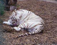 Het witte tijger likken Rust grote wilde kat Stock Afbeelding