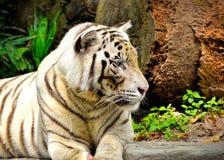 Het witte tijger stellen voor de camera Stock Fotografie