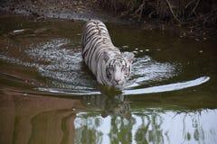 Het witte tijger wandelen Royalty-vrije Stock Afbeeldingen