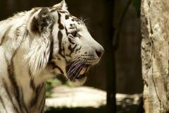 Het witte tijger zoeken royalty-vrije stock fotografie