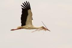 Het witte vliegen van de Ooievaar Stock Afbeeldingen