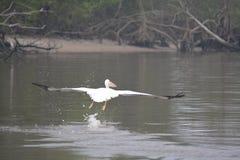 Het witte vliegen van Pelikanen Stock Fotografie