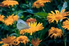 Het witte vlinder voeden bij de bloei van oranje madeliefjeswildflowers in de de zomertijd Stock Afbeelding