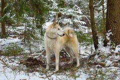 Het witte Westen Siberische Laika Stock Foto's