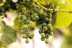 Het witte wijndruif hangen Stock Afbeeldingen