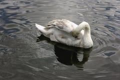 Het witte zwaan gladstrijken Stock Afbeelding