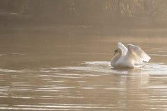Het witte zwaan uitrekken zich stock afbeelding