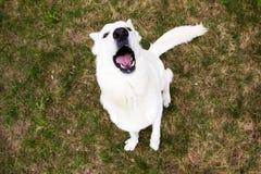 Het witte Zwitserse herdershond ontschorsen royalty-vrije stock fotografie